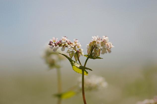 как цветет гречиха фото